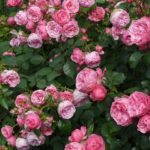 The Different Roses You Can Grow In Your Rose Garden