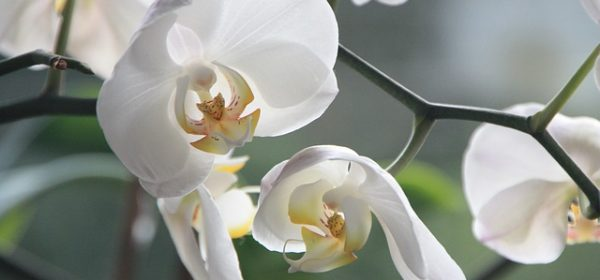 Orchid Flowers – Growing Indoors