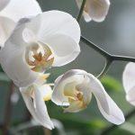 Orquideas para cultivar dentro de su hogar